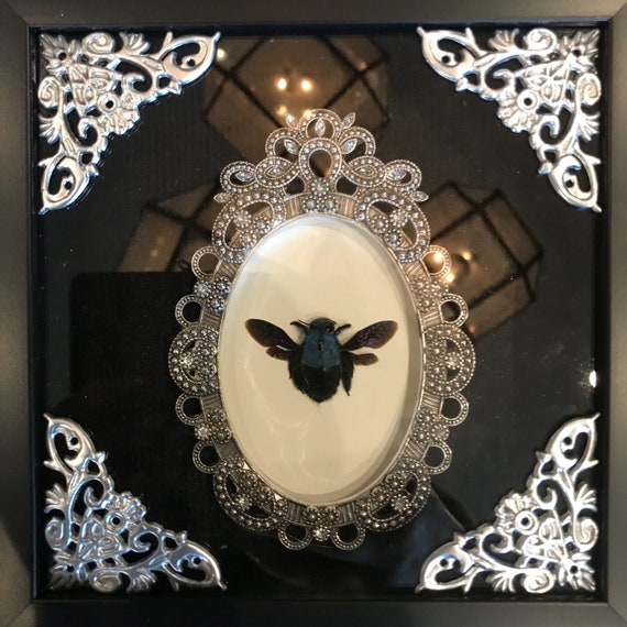 Real blue carpenter bee taxidermy display! Cute!