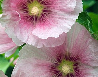 35+ Old Fashioned Giant Pink Hollyhock Flower Seeds / Perennial