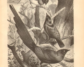 1879 Glossy-starlings, Lamprotornis Original Antique Engraving to Frame