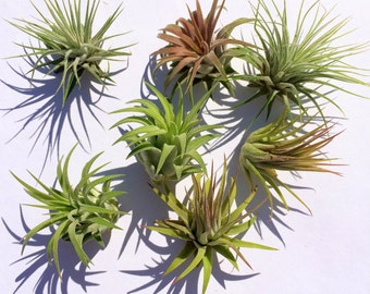 Air Plant Iona 3 for 1 Deal
