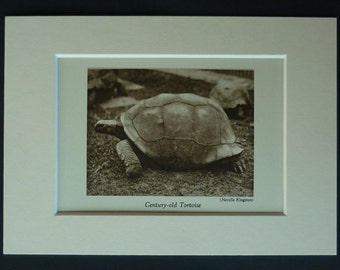 1930s Antique Tortoise Print, Nature Decor, Available Framed, Reptile Art, Sepia Wall Art, Wildlife Picture Natural History Photography Gift