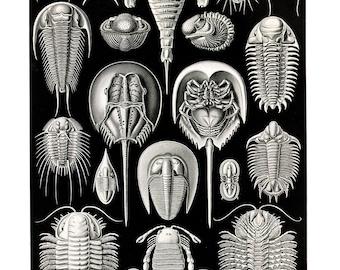 Sea Creatures Horse Shoe Crabs Plate  - Ernest Haeckel ~ Marine Biology Poster - Evolution - Science ~Black & White Giclee Fine Art Print