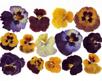Pressed Violas pansies ( 20 pcs ).Pressed flowers. Real flowers.Herbarium.Lilac. Purple. For Oshibana, Cards, Scrapbooking, Decor