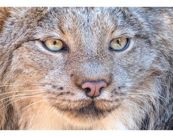 Wildlife Series Three: Lynx
