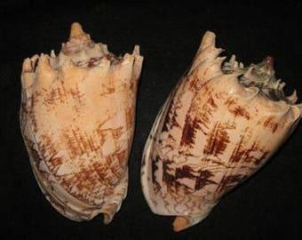 Imperial Volute Seashell  (EA)