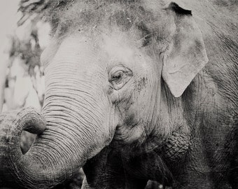 Black and White Elephant Photo - 8x10 photograph - Baby Elephant - fine art print -  Black and White photography - nursery art