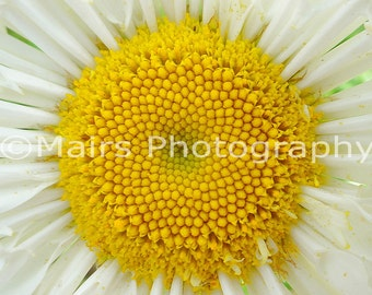 White Yellow Macro Daisy, Gift for Gardener, Nature, Garden Photography, Fine Art Photography matted & signed 5x7 Original Photograph