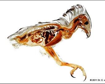 Buzzard bird raptor Plastinate Print Plastination Anatomical Picture