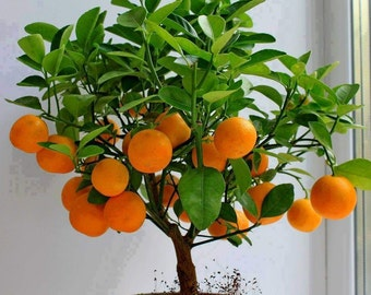 15 Edible Fruit Orange Tree Seeds, Bonsai Citrus Orange Tree, Orange Fruit Fresh Exotic Tree Seeds