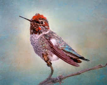 "Hummingbird Photography - red and blue  hummingbird on branch, summer, hummingbird wall art, home decor, hummingbird wall decor- ""Interlude"""