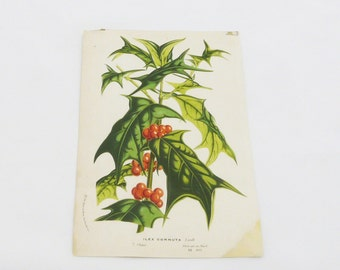 Antique Botanical Print - Chinese Holly