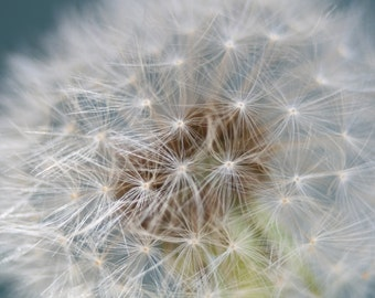Dandelion, Flower Photography, Flower Photo, Fine Art Print, Seedhead, Floral Photography, Close Up, Studio