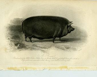 Vintage engraving of a boar ca 1843