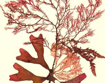 Art d'algues, algues naturelles urgent art algue botanique fait sur commande, la vie côtière, beach cottage décor victorien botanique, 8 x 10
