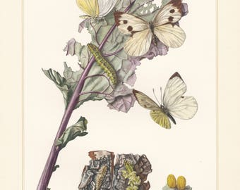Vintage lithograph of the cabbage butterfly, cabbage white, large white butterfly from 1955