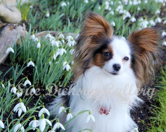 Snow Drops Spring Flower Photography- Papillon Dog Photography
