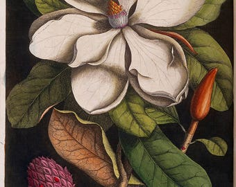 Mark Catesby: White Magnolia Blossom and its Seed Pod. Fine Art Print/Poster. (004751)