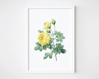 Wall Art, Rose, Watercolor Print, Printable Art, Joseph Recouté, Botanical Art, Botanical Poster, Rustic Home Decor   Rose Jaune de Soufre