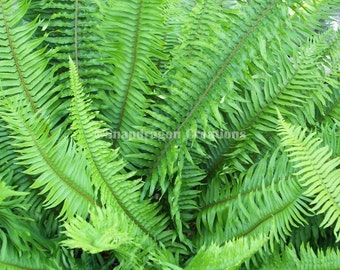 Green Sword Fern Photograph