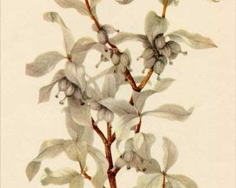 Vintage 1953 Silverberry Botanical, Floral Print for Framing, American Wildflower