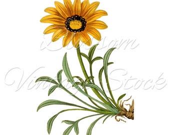 Vintage Botanical Print, Yellow Daisy Flower Digital Image, Vintage Graphic, Antique Illustration for Print, Artwork INSTANT DOWNLOAD - 1585
