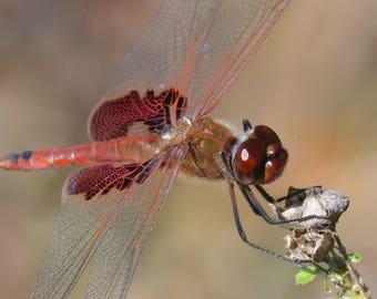 Framed Red Saddlebags Dragonfly