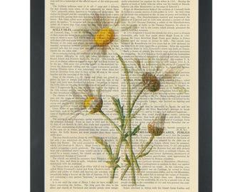 Daisy vintage botanical drawing Dictionary Art Print