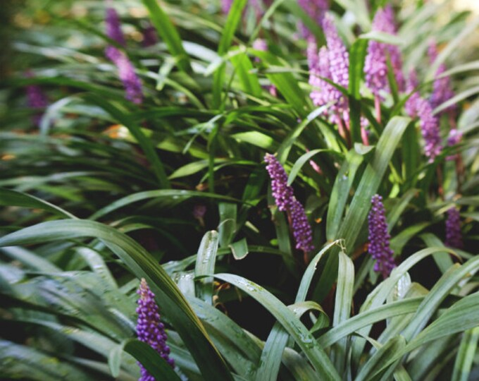 Dreamy Lavender, Soft Focus Plant Detail, Botanical Gardens 8x12 10x15 12x18 16x24 Garden Fine Art Photograph
