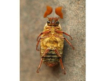 June Beetle Natural History Print Stripes Forest Dweller Woodland Print Male June Bugs Entomology