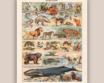 Mammal print, educational poster, natural science, bear, lion, whale, monhey  kids room decor natural history  school decor  11x14