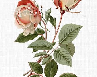 Rose Flower Digital Download - Safrano Rose - Vintage Botanical Drawing for Prints, Decoupage, Collages, Invites, Cards...