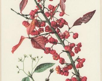 1960 Vintage Botanical Print, Euonymus europaeus, European Spindle, Botany Illustration, Home Wall Decor, Spindelbaum, Floral Art