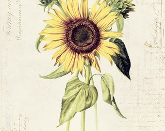 "Vintage Botanical Flower ""Sunflower"" on French Ephemera Print 8x10 P170"