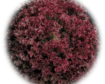 Lolla Rossa Red Leaf Lettuce - NON GMO - approximately 450 Heirloom Seeds