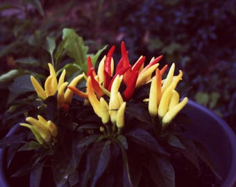 Mini Peppers Photography Print