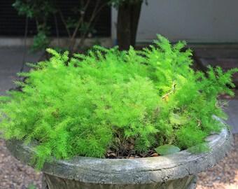 Asparagus Ornamental 5 seeds