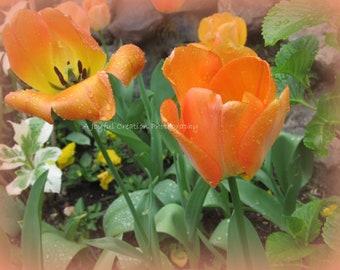 Tulip - Flower - photograph - Tulip photo - flower photo - Orange Tulip - Tulip Flower - Ananda Garden - Tulip Garden - Orange tulip garden