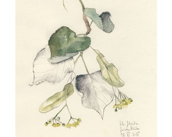 Linden Blossom watercolour pencil drawing 4/2015 Botanical PRINT Green lime tree blossom watercolor by Catalina S.A.