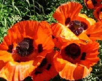 500 Oriental Poppy Scarlet Orange Poppy Seeds (Papaver)