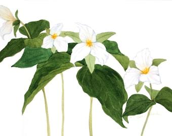 "White Trillium Watercolor Reproduction by Wanda""s Watercolors"