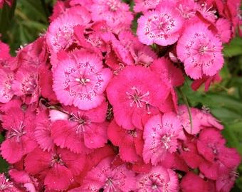 Sweet William Seeds (Dianthus barbatus)