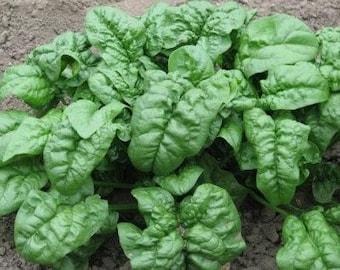 Giant Noble Spinach Heirloom Garden Seed Microgreens Non-GMO Naturally Grown Open Pollinated Gardening