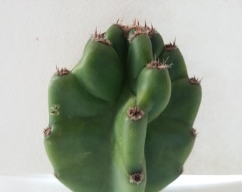 "Little Apple Cactus Cutting (3-4"")"