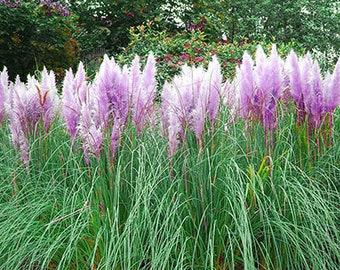 Colorful Pampas Grass Cortaderia Seeds Cheap 500 Seeds (Item No: 3)