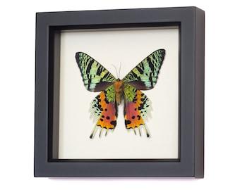 Sunset Real Real Framed Moth 1331