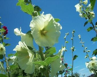 Hollyhock Seeds, Flower Fairy Garden Seeds, Organic Flower Seeds