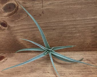 Ixioides Air Plant