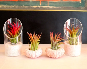 Sea Urchin & Glass Air Plant combo