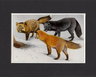 Foxes 1916 Signed Print by Louis Agassiz Fuertes Vintage Mounted Picture with Mat Red Fox Silver Fox