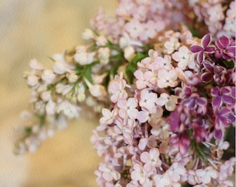 Lilacs Photography, Purple Lilacs, Pink Lilacs, Floral Photos, Spring Botanicals